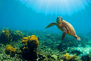 Hawksbill turtle (Eretmochelys imbricata) in shallow water. Nosy Be, north Madagascar, Africa.  -  Inaki Relanzon