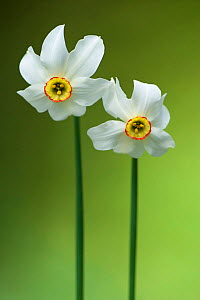 Poet's Daffodil (Narcissus poeticus). Montseny Nature Reserve, Barcelona province, Catalonia, Spain, May.  -  Inaki Relanzon