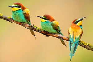 European Bee-eaters (Merops apiaster) perching. The Pyrenees, Spain, May.  -  Inaki Relanzon