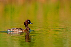 Madagascar Pochard (Aythya innotata) on water. One of the most endangered ducks in the world, rediscovered in 2008. Bemanevika protected area, north Madagascar, Africa.  -  Inaki Relanzon
