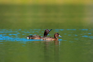 Two Madagascar Pochard (Aythya innotata) on water. One of the most endangered ducks in the world, rediscovered in 2008. Bemanevika protected area, north Madagascar, Africa.  -  Inaki Relanzon