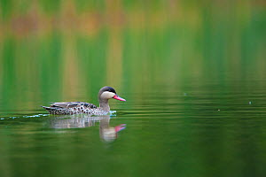 Red-billed Pintail / Teal (Anas erythrorhyncha) on water. Bemanevika protected area, north Madagascar.  -  Inaki Relanzon