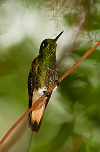 Buff-tailed Coronet hummingbird (Boissonneaua flavescens) perching on a feeder. Mindo cloudforest, west slope of the Andes, Ecuador.  -  Pete Oxford