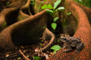 Cane Toad / Giant Marine Toad (Rhinella / Bufo marina) on buttress roots. Ecuador.  -  Pete Oxford