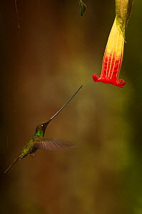 Sword-billed Hummingbird (Ensifera ensifera), the only species of bird to have a bill longer than the rest of its body, approaching a flower. Yanacocha Reserve, Ecuador.  -  Pete Oxford