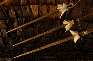 Huaorani lances decorated with feathers. These are used for hunting and combat weapons. Gabaro Community, Yasuni National Park, Ecuador, June 2007.  -  Pete Oxford
