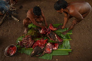 Huaorani Indians butchering a peccary before boiling or smoking it. Bameno Community. Yasuni National Park, Ecuador, May 2007. - Pete Oxford