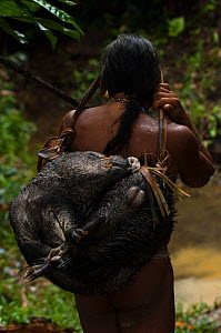 Huaorani Indian carrying home a White-lipped peccary that he hunted with his lance. The lances are made from a palm trunk. Bameno Community, Yasuni National Park, Ecuador, May 2007. - Pete Oxford
