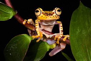Imbabura Treefrog (Hypsiboas picturatus). Captive. Choc� Region of north west Ecuador.  -  Pete Oxford