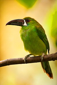 Crimson-rumped Toucanet (Aulacorhynchus haematopygus) perching. Mindo cloud forest, Ecuador.  -  Pete Oxford