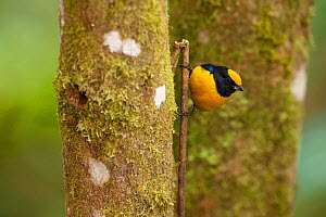 Orange-bellied Euphonia (Euphonia xanthogaster). Mindo cloud forest, Ecuador.  -  Pete Oxford