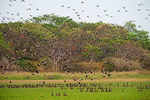 Mixed flock of whistling ducks and ibis taking flight. White-faced Whistling Duck (Dendrocygna viduata), Black-bellied Whistling-duck (Dendrocygna autumnalis), Scarlet Ibis (Eudocimus ruber). Hato Ma...  -  Pete Oxford