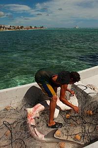 Fisherman removing Great Hammerhead (Sphyrna mokarran) bycatch from his nets. Mahaual Town, Yucatan Peninsula, Mexico.  -  Pete Oxford