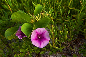 Beach Morning-Glory (Ipomoea Pes-caprae) in flower. Pez Maya, Yucatan Peninsula, Mexico. - Pete Oxford