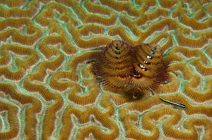Christmas Tree Worm (Spirobranchus giganteus) on Brain coral. Punta Gruesa, Mahahual Peninsula, South Yucatan Peninsula, Mexico.  -  Pete Oxford