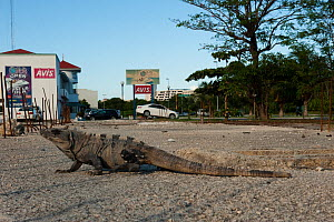 Black Iguana (Ctenosaura similis) in urban setting. Cancun, Yucatan Peninsula, Mexico.  -  Pete Oxford