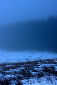 Upland conifer plantation in snow and mist, Gwynedd, North Wales, February 2009 - David Woodfall