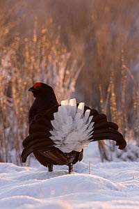 Black Grouse (Tetrao tetrix) male displaying at lek in snow, Ruabon Moor, Denbighshire, Wales, UK, April - David Woodfall