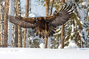 Golden eagle (Aquila chrysaetos) about to land on snow, Oulanka NP, Finland, February - Lassi Rautiainen