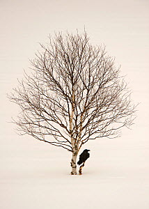 Common raven (Corvus corax)  perched in snow beside birch tree, Finland, March  -  Lassi Rautiainen