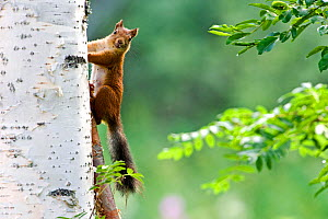 Red squirrel (Sciurus vulgaris) climbing tree trunk, Finland, July  -  Lassi Rautiainen