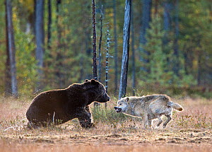 Brown bear (Ursus arctos) and Grey wolf (Canis lupus) showing aggression, Kuhmo, Finland, September  -  Lassi Rautiainen