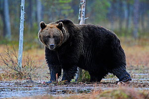 Brown bear (Ursus arctos) in woodland wetlands, Kuhmo, Finland, September 2010  -  Lassi Rautiainen