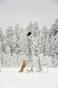 Grey wolf (Canis lupus) in woodland in thick snow jumping up at eagle perched on dead tree stump overhead, Finland, December - Lassi Rautiainen