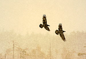 Two Common ravens (Corvus corax) in flight through snow, Finland, April - Lassi Rautiainen
