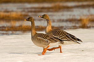 Bean goose (Anser fabalis) two walking over snow near water, Finland, May  -  Lassi Rautiainen