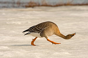 Bean goose (Anser fabalis) walking over snow, crouched low, hissing, aggresion, Finland, May  -  Lassi Rautiainen