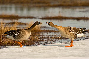 Bean goose (Anser fabalis) two near water, hissing at each other, Finland, May  -  Lassi Rautiainen
