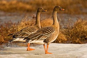 Bean goose (Anser fabalis) two on snow near water, Finland, May  -  Lassi Rautiainen
