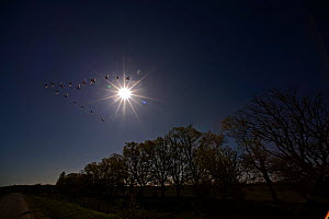 Moon shining over trees with flock of geese flying past in formation, Finland, May  -  Lassi Rautiainen