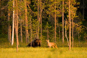 Brown bear (Ursus arctos) and Grey wolf (Canis lupus) in woodland wetlands, Kuhmo, Finland, July  -  Lassi Rautiainen