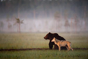 Brown bear (Ursus arctos) and Grey wolf (Canis lupus) together in wetlands, Kuhmo, Finland, July - Lassi Rautiainen