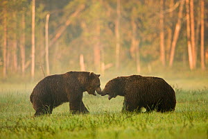 Two Brown bears (Ursus arctos) showing aggression in woodland wetlands, Kuhmo, Finland, July  -  Lassi Rautiainen