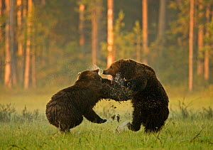 Two Brown bears (Ursus arctos) fighting in woodland wetlands, Kuhmo, Finland, July  -  Lassi Rautiainen