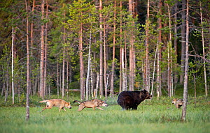 Brown bear (Ursus arctos) being chased by Grey wolves (Canis lupus) in woodland wetlands, Kuhmo, Finland, July  -  Lassi Rautiainen