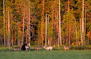 Brown bear (Ursus arctos) being chased by pack of Grey wolves (Canis lupus) in woodland wetlands, Kuhmo, Finland, July  -  Lassi Rautiainen