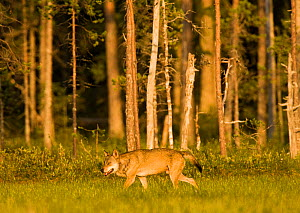 Grey wolf (Canis lupus) in woodland wetlands, Kuhmo, Finland, July  -  Lassi Rautiainen