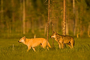 Two Grey wolves (Canis lupus) in woodland wetlands, Kuhmo, Finland, July  -  Lassi Rautiainen