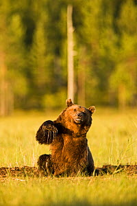 Brown bear (Ursus arctos) wallowing in mud in woodland wetlands, Kuhmo, Finland, July  -  Lassi Rautiainen