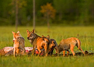Pack of Grey wolves (Canis lupus) feeding at carcass, Kuhmo, Finland, July  -  Lassi Rautiainen