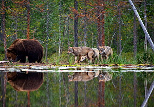 Brown bear (Ursus arctos) and pack of Grey wolves (Canis lupus) beside water in woodland wetlands, Kuhmo, Finland, July  -  Lassi Rautiainen