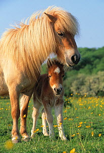Miniature shetland pony (Equus caballus) mother and foal in field, UK  -  Mark Bowler