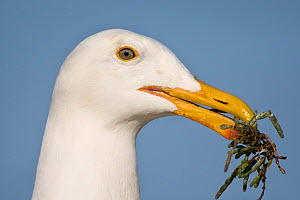 Western Gull (Larus occidentalis) portrait, with nesting material in beak, Monterey Bay, California, USA, April  -  Suzi Eszterhas