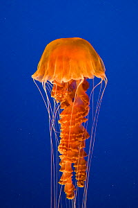 Sea Nettle (Chrysaora quinquecirrha / achlyos) Monterey Bay Aquarium, California, USA, Captive  -  Suzi Eszterhas