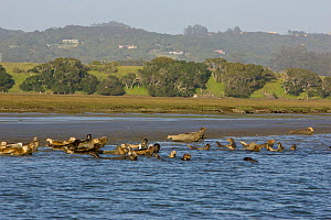 Group of Common / Harbor Seal (Phoca vitulina) haul out in estuary, Elkhorn Slough, California, USA, March  -  Suzi Eszterhas