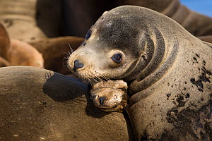 California Sea Lion (Zalophus californianus) mother and pup, Monterey Bay, California, USA, April  -  Suzi Eszterhas